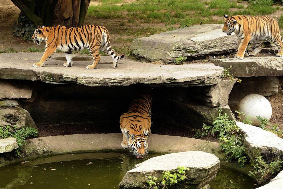 Три тигра бродят в зоопарке в Кельне