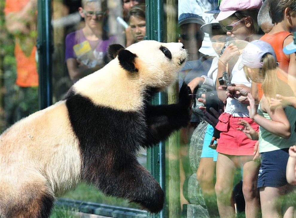 Любопытная панда