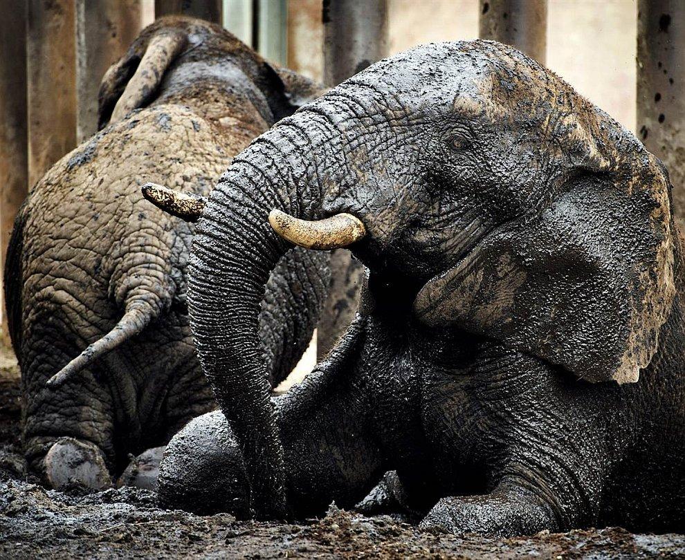 Слоны из нидерландского зоопарка