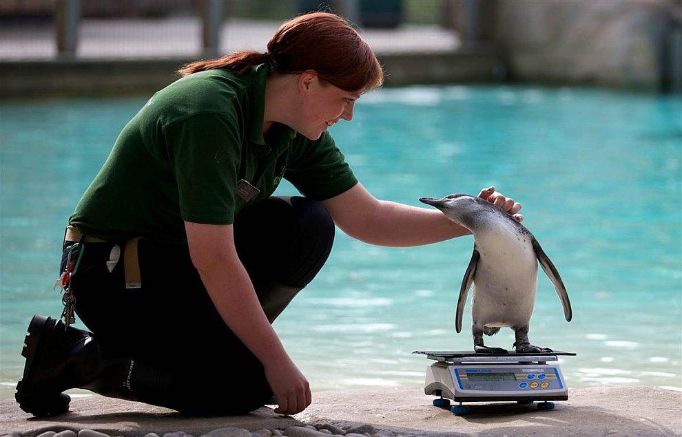 Взвешивание пингвина