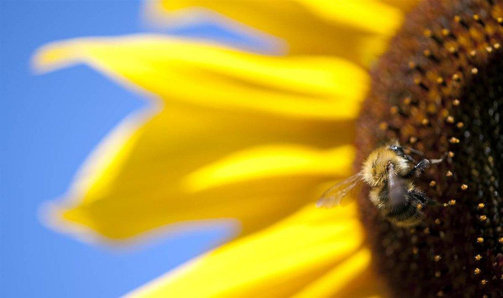 Пчела собирает пыльцу подсолнечника в Берлине
