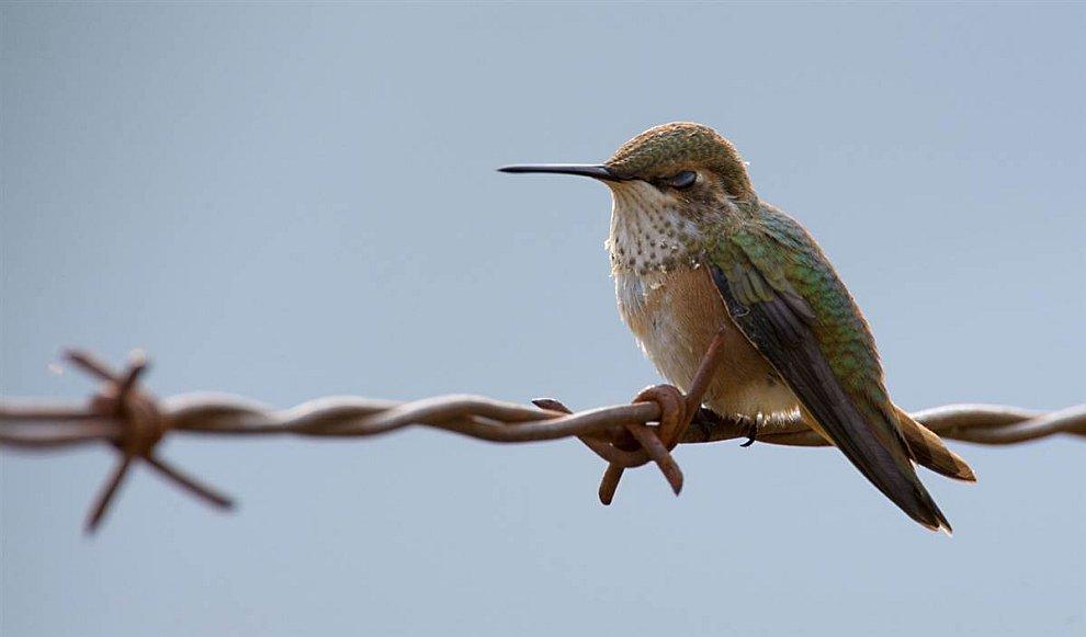 Суровый колибри