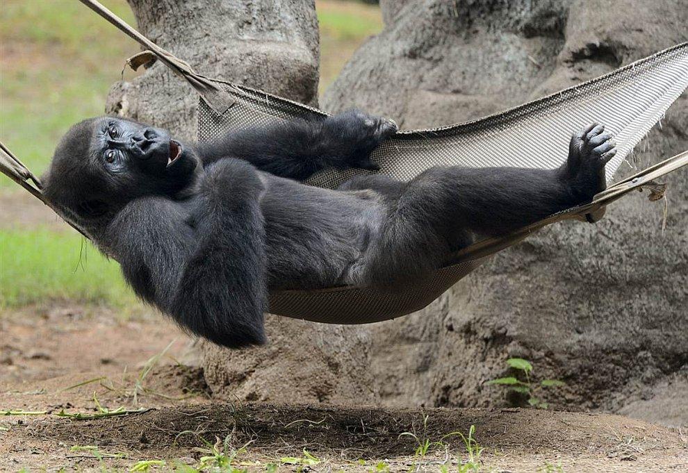 Равнинная горилла
