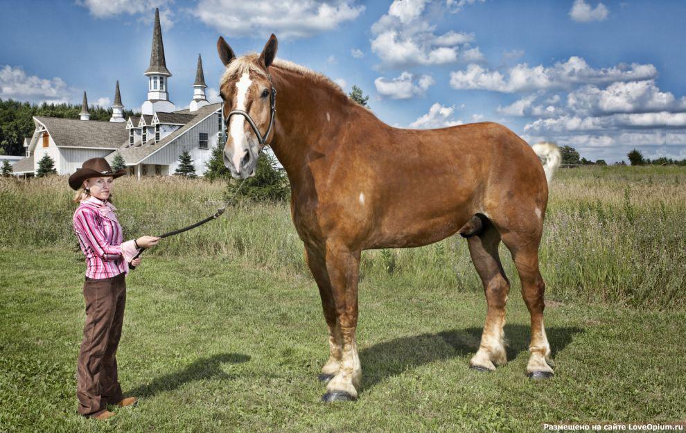 Самая высокая лошадь