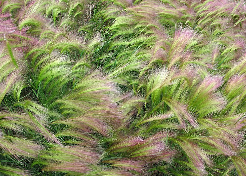 Колоски ячменя на ветру