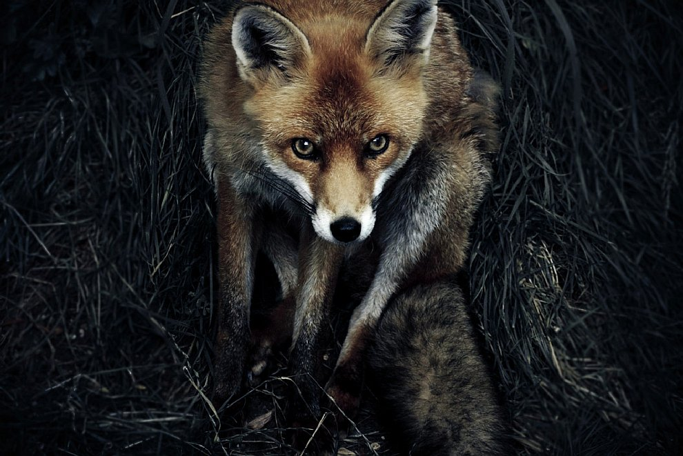 Рыжая лиса: один в темноте