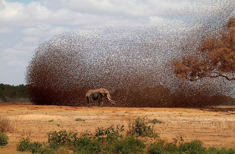 Хаос: огромная стая красноклювых ткачиков и африканский слон