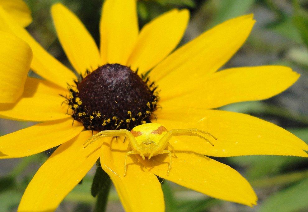 Желтый паук на желтом цветке