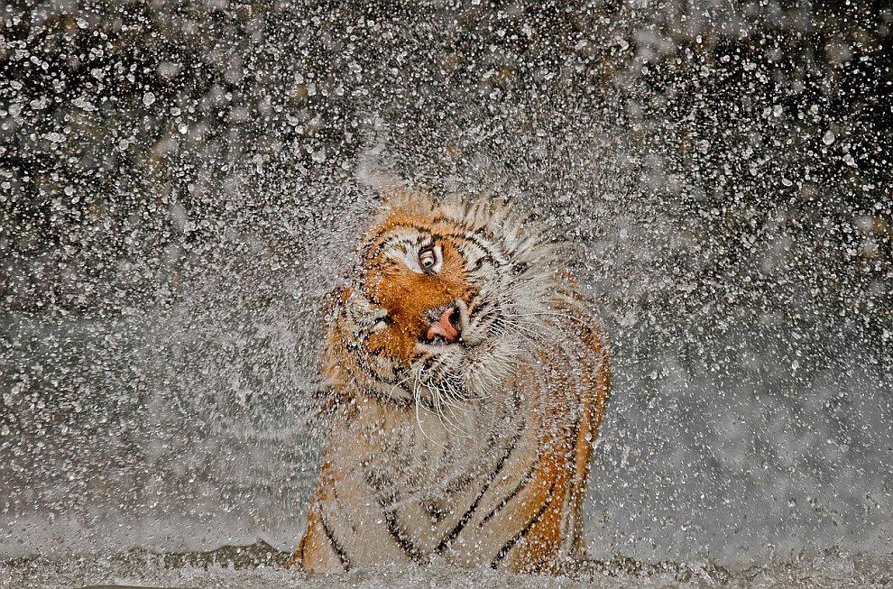Тигрица в зоопарке Таиланда