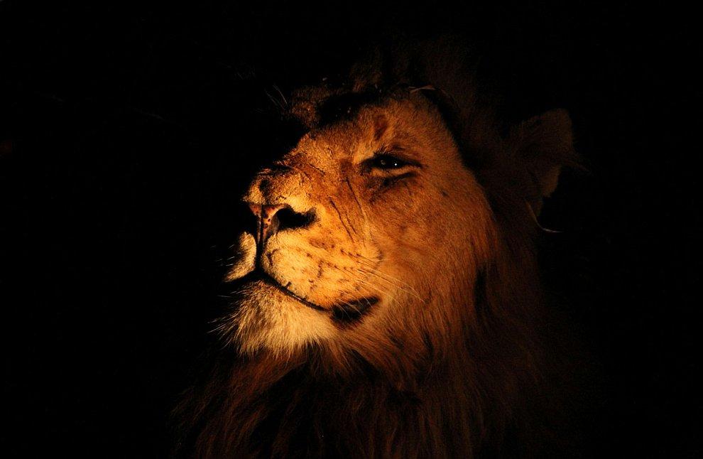 Король-лев в в Национальном парке Крюгера в Южной Африке