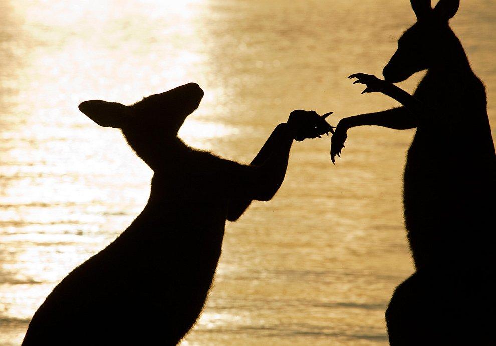 Бокс на рассвете: молодой кенгуру решил проверить свои возможности против старого самца