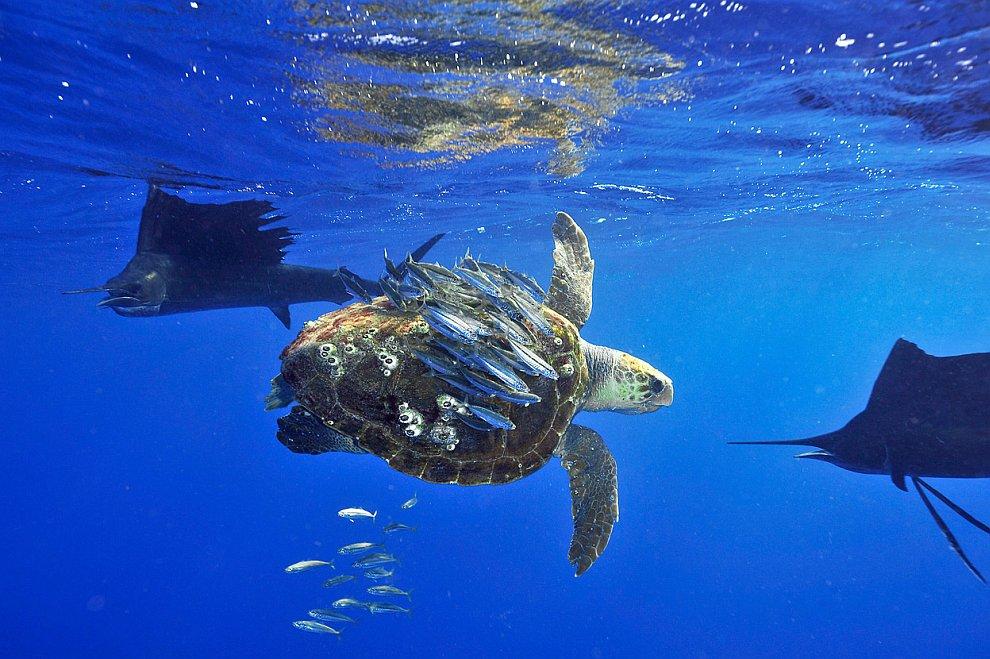 Рыбы умело используют морскую черепаху для скрывания от врагов — парусников