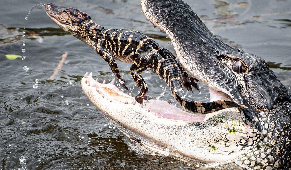 Не удалось скрыться: молодой крокодильчик попался в пасть взрослому аллигатору