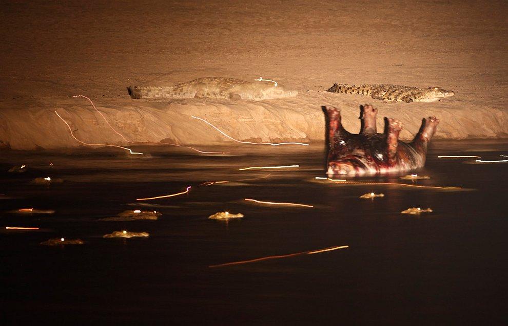 Мертвый бегемот в реке и крокодилы
