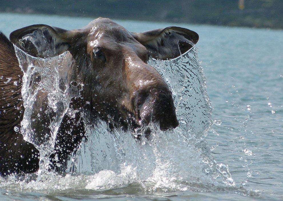 Купание лося в озере