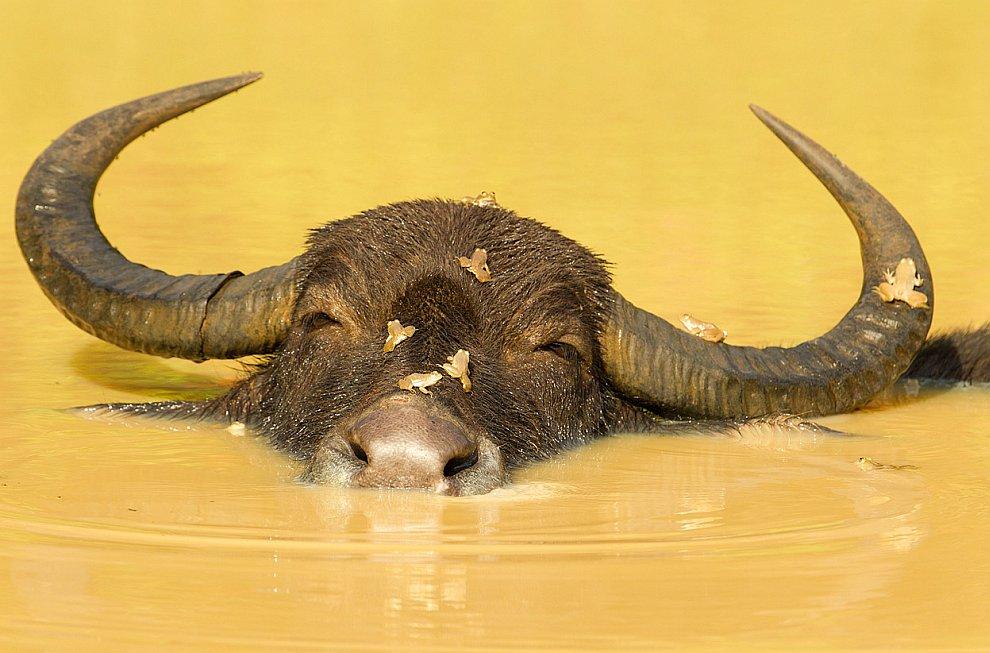 Расслабление. Счастливый бык и лягушки