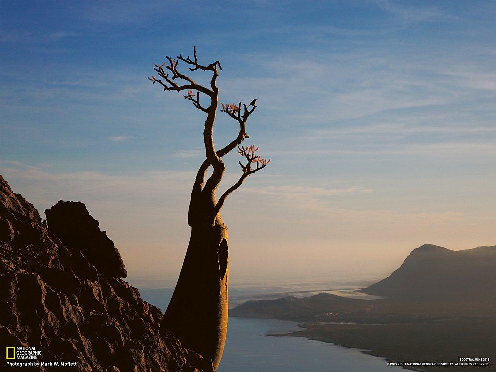 Бутылочное дерево, Сокотра