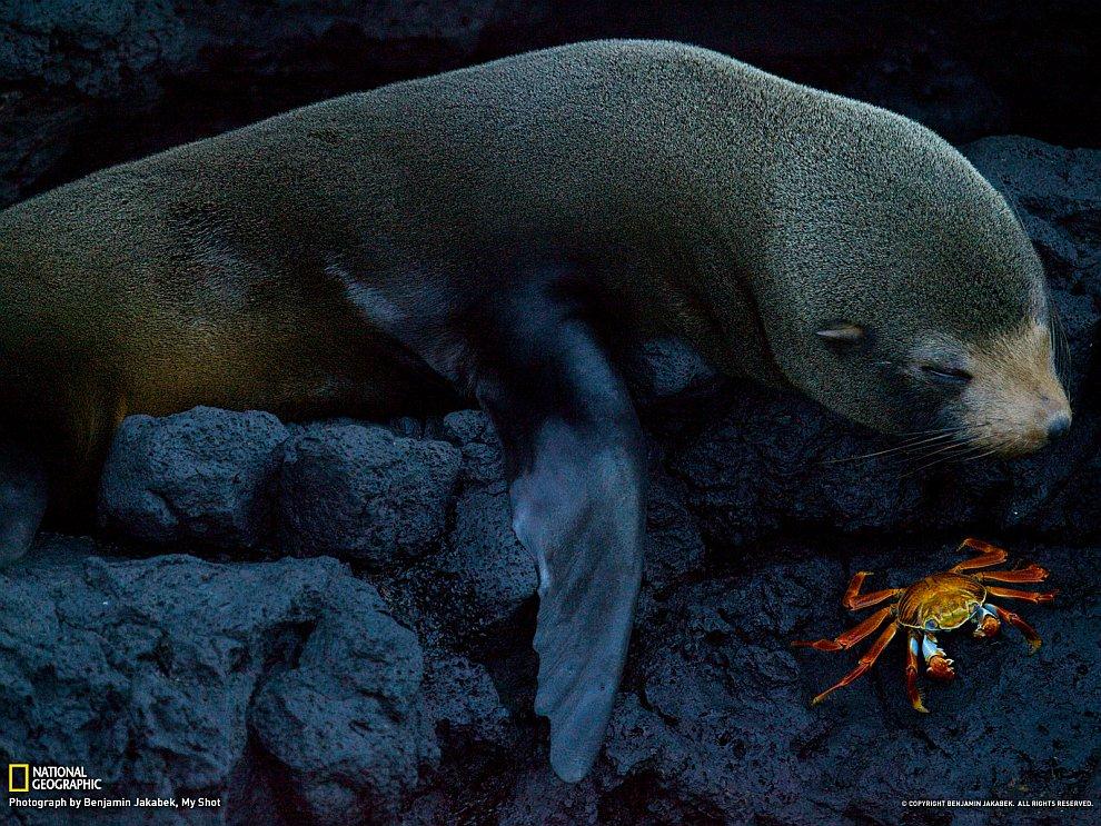 Тюлень и краб, Галапагосские острова