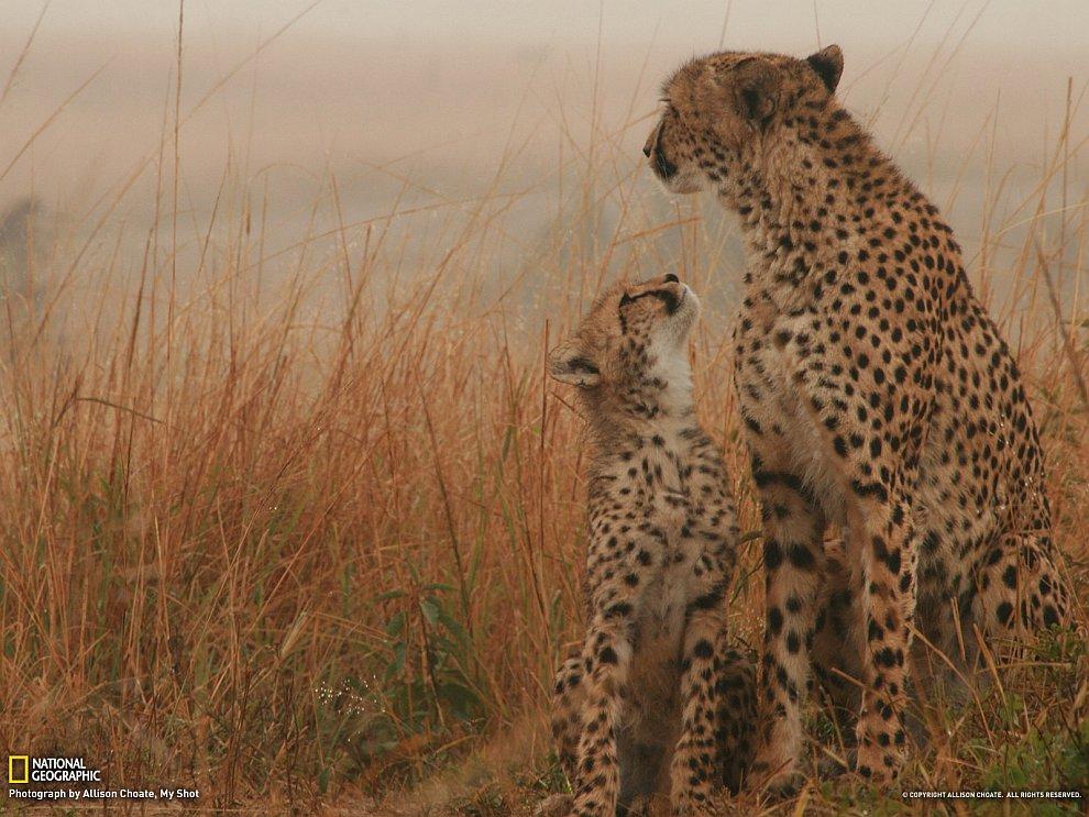 Немного нерезкая, но очень выразительная фотография гепардов