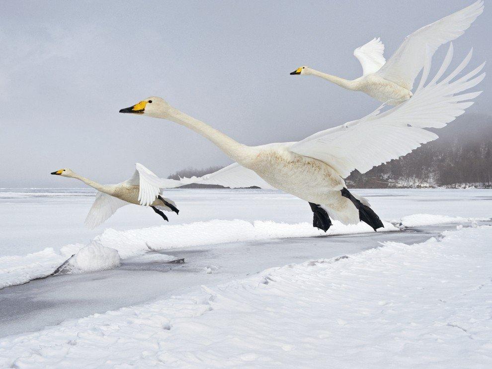 Взлет лебедей