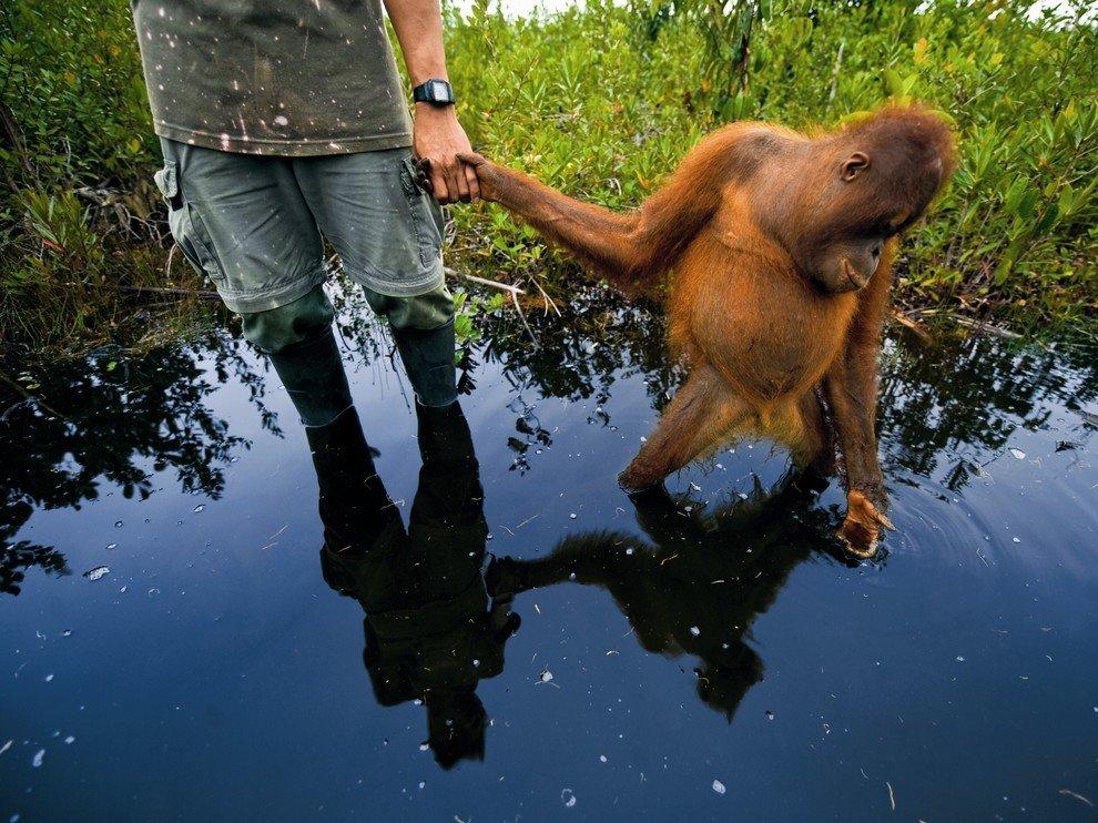 Орангутан Муги, Индонезия