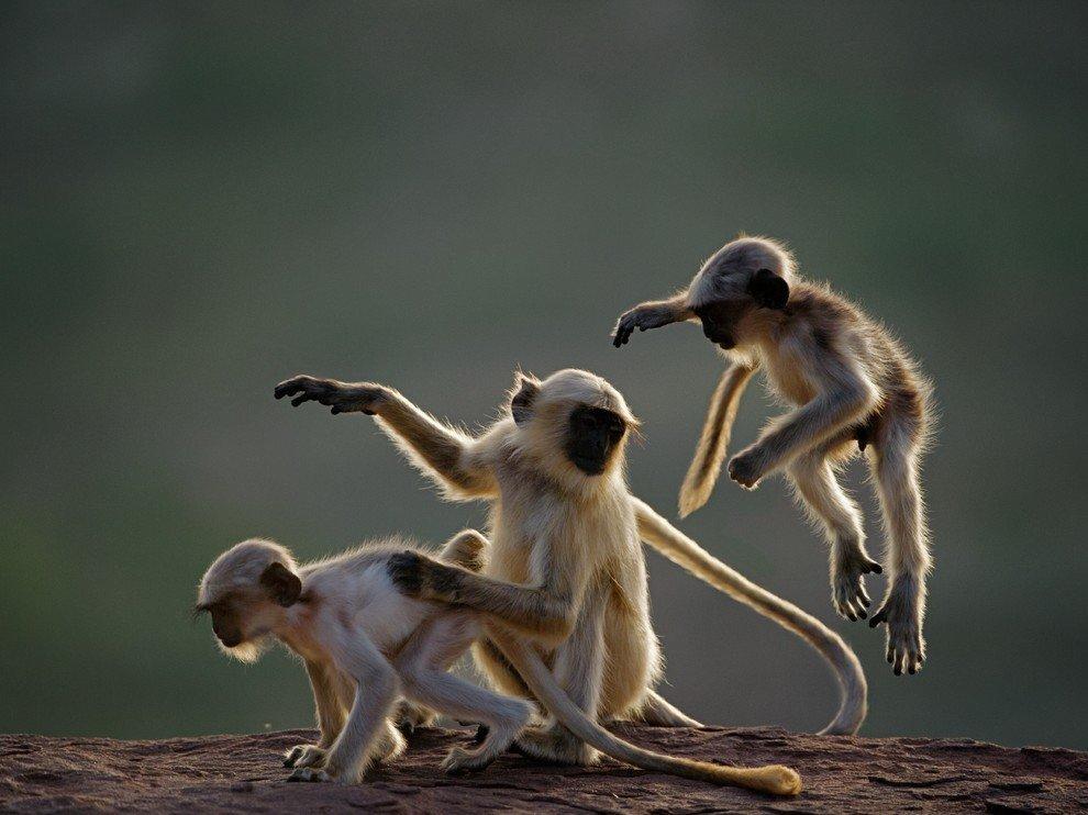 Детеныши лангуров, Индия