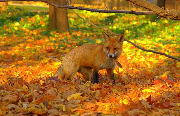 Рыжая лиса поймала мышь