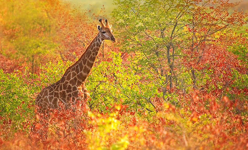 Жирафы являются самыми высокими наземными животными планеты