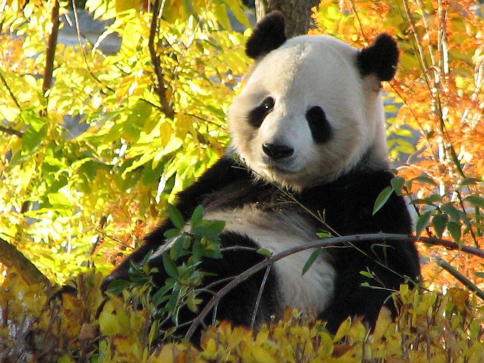 По-китайски панда означает «медведь-кошка»