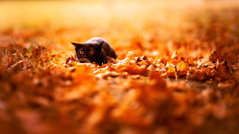 Черный кот в осеннем парке