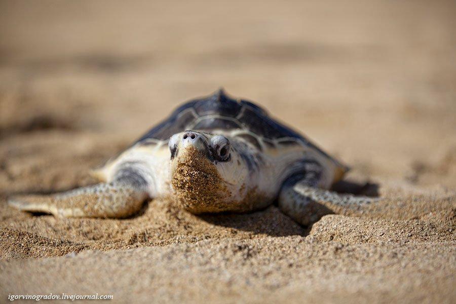 Зеленые морские черепахи в Индонезии