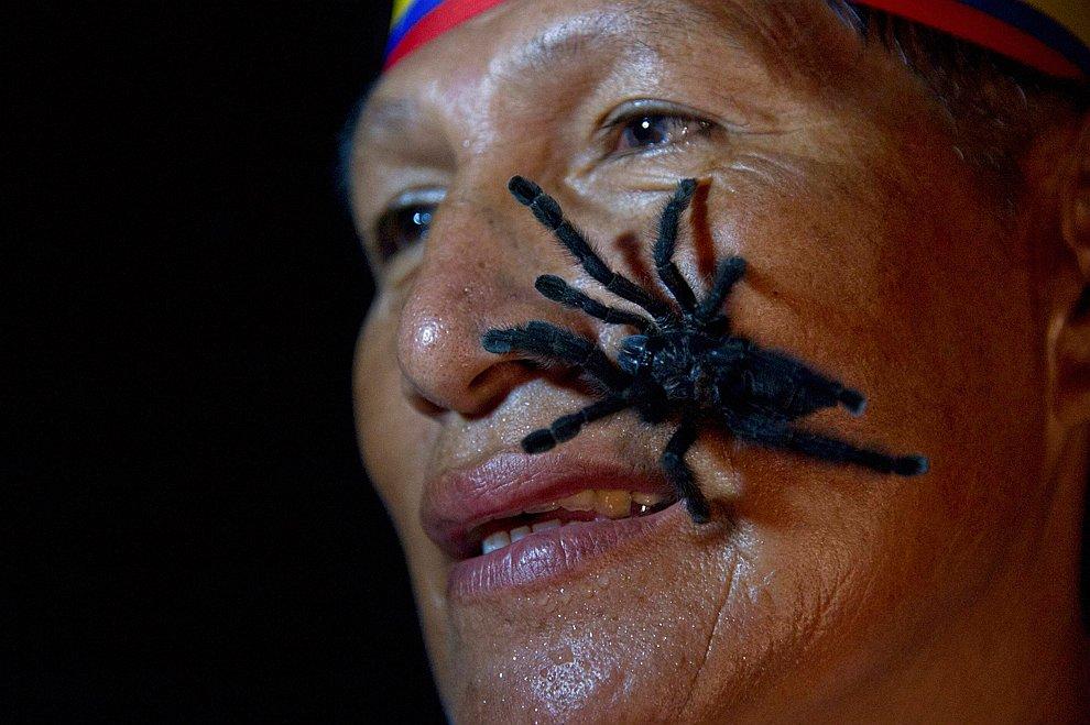 Габриэль Гуалло из Эквадорского племени надеется удержать 250 тарантулов на своем теле в течение 60 секунд
