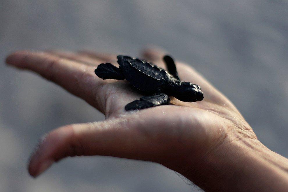 Детеныша черепашки отпускают в океан на пляже в Ла-Либертад