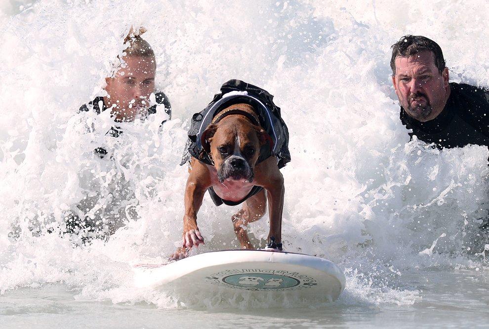 Соревнования по собачьему серфингу