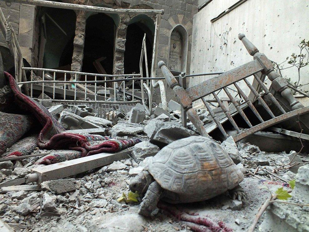 Домашняя черепаха на обломках разрушенного дома в Хомсе, Сирия