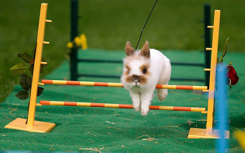 Выступает кролик на ярмарке животных в Дрездене