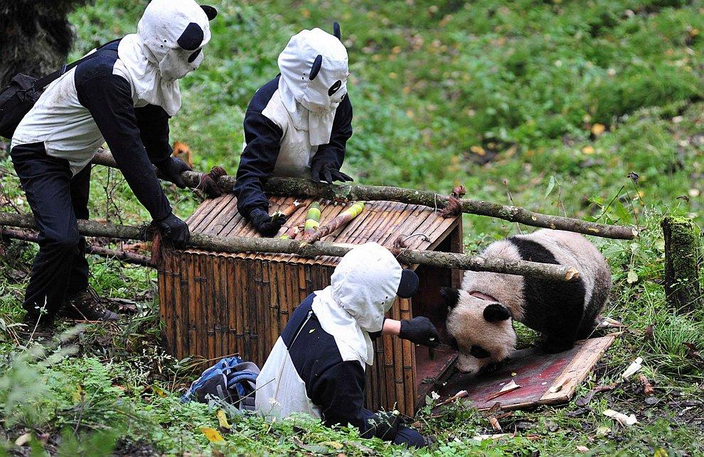 Ученые из национального заповедника в провинции Сычуань (Китай) в костюмах гигантских панд