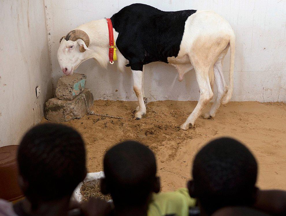 А знаете ли вы, что в Сенегале овцам дают имена, держат в домах в качестве домашних любимцев и снимают про них реалити-шоу