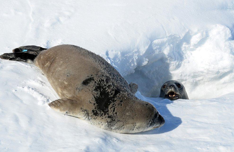 Тюлененок с мамой