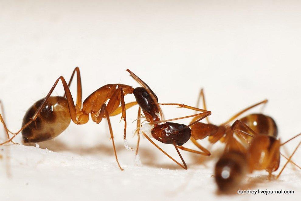 фото яиц муравьёв