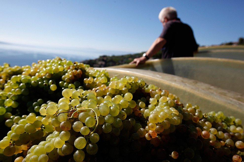 Террасовые виноградники Лаво
