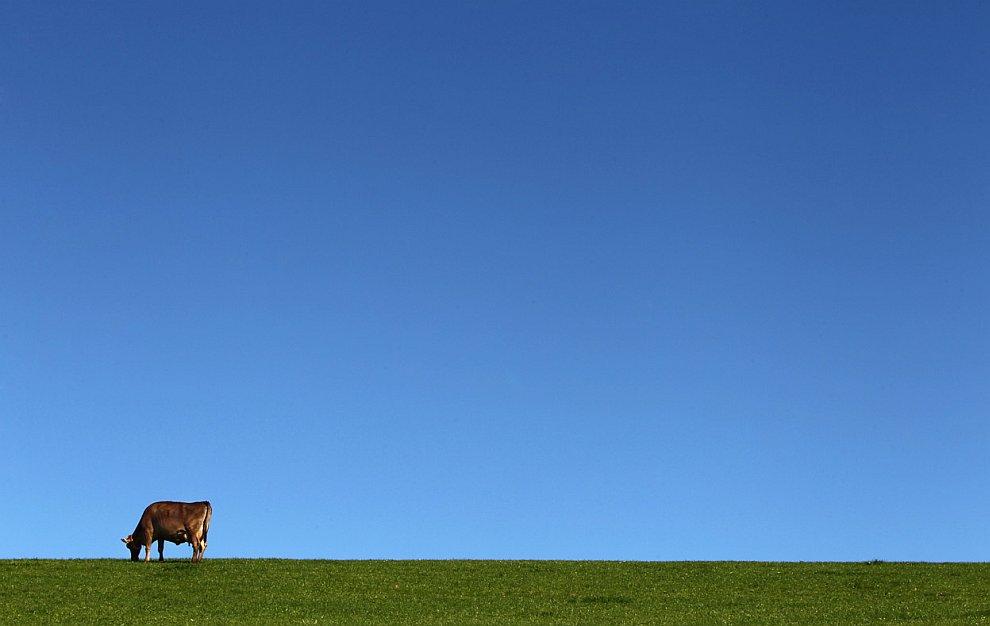 Одинокая корова на лугу