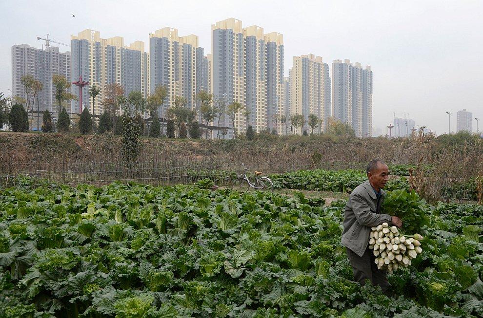 Местный житель собирает урожай редиски рядом с домами большого жилого комплекса