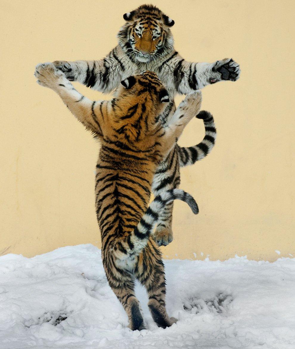 Танцующие тигры