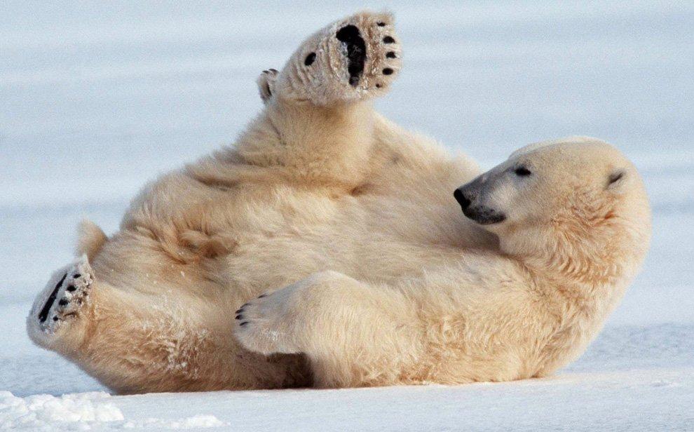 Брейк-данс от белого медведя