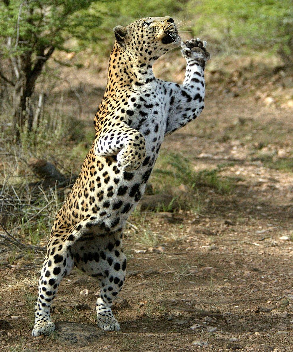 Леопарды — прекрасные танцоры