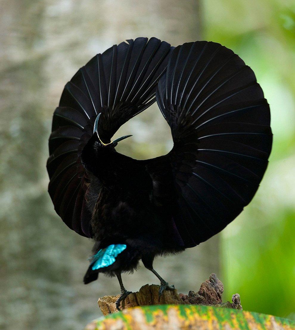 Щитоносная райская птица
