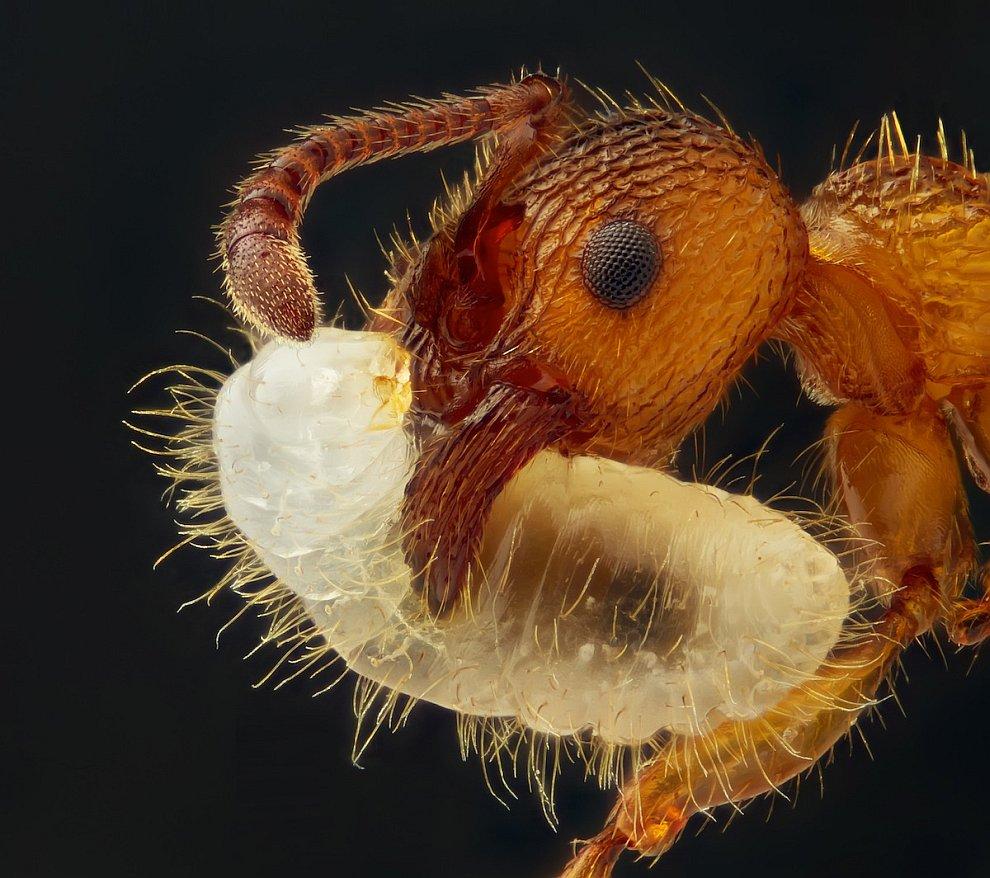 Муравей, несущий личинку