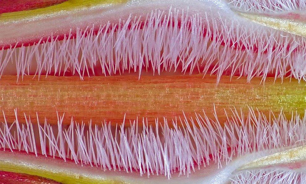 Пестик растения-кустарника Адениум Обесум
