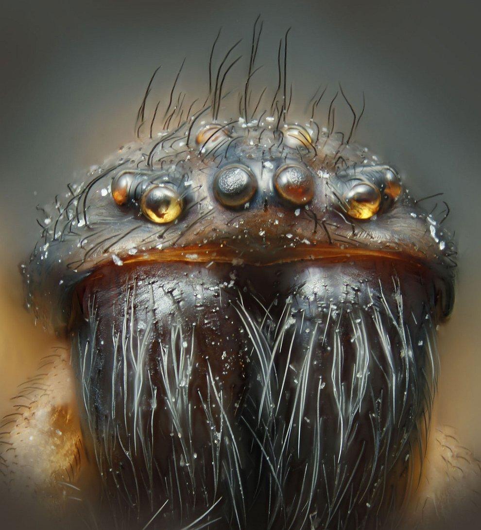 Так выглядят домашние паучки в большом приближении, живущие в домах